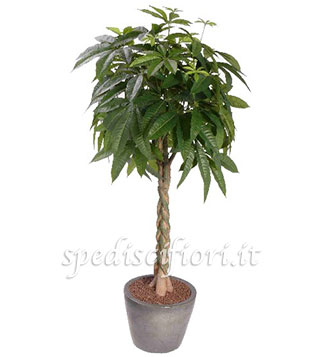 pianta-di-pachira
