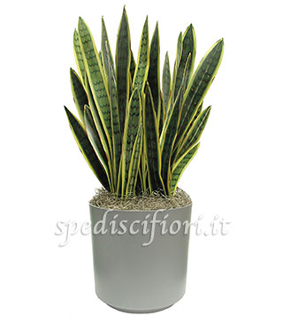 pianta-di-sanseveria