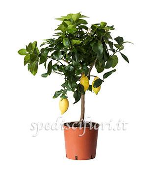 pianta-di-limoni