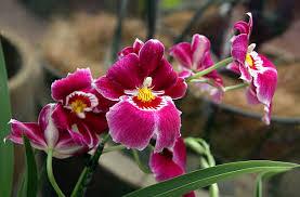 Orchidea del pensiero