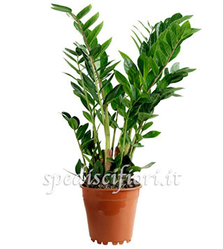 pianta-di-zamia