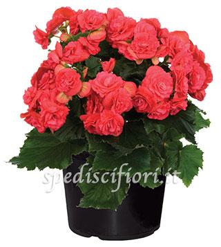 pianta-di-begonia
