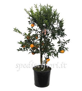pianta-di-mandarino