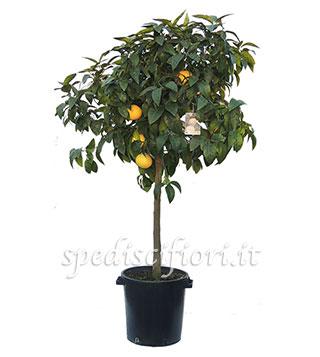 pianta-di-pompelmo