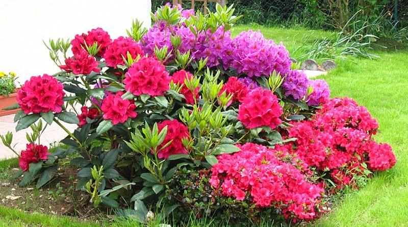 Azalea e rododendro consegna fiori a domicilio for Cura azalea