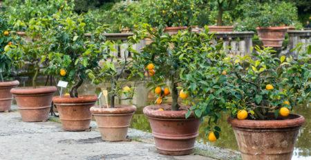 piante da frutto in vaso